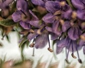 Fine Art Print 11x14 Purple Lupine nature photography