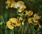 Golden Icelandic Poppies 8x10 Fine Art Print - affordable home decor