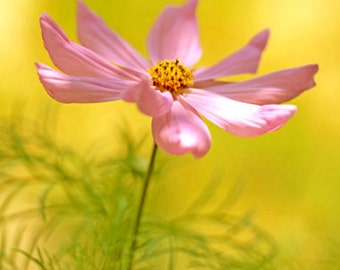 SUMMER SONG floral wall decor, pink Cosmos, yellow light
