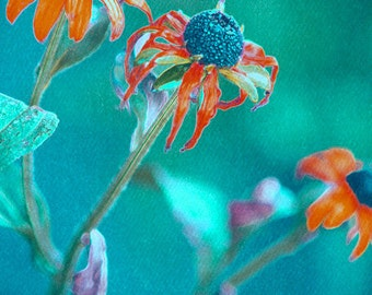 Aging Beauty - vibrant colors echinacea flowers, turquoise and red wall art, photo art print, floral wall art