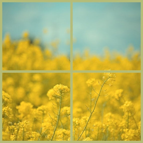 Through the Windowpane yellow fine art photography, rural images, paned glass photography, golden blossoms, square wall art, home decor