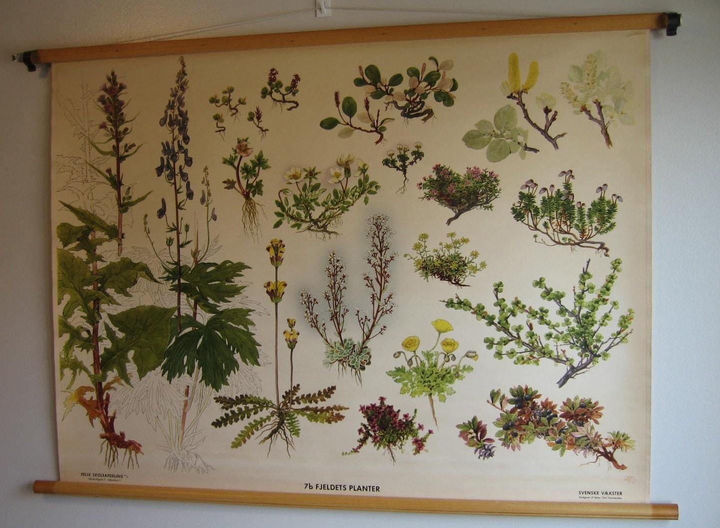 Vintage 40s Swedish Botanical Poster Educational By