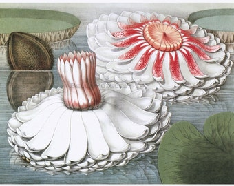 Hand-cut wooden jigsaw puzzle. WATER LILIES. William Sharp painting. Botanical illustration. Wood, collectible. Bella Puzzles.
