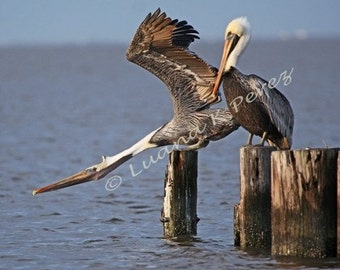 Pelican Stretch on a Louisiana Pier Photo
