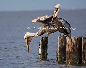 Pelicans Photography,  Is the oil gone