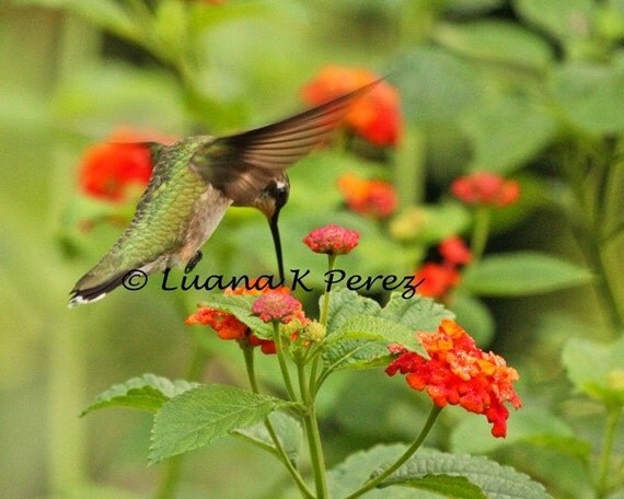 Hummingbird and Lantana Flowers