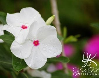 Kauai White Flowers  11x14