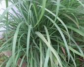 Organic Lemon Grass Seeds