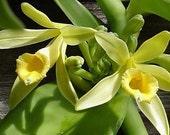 Vanilla Bean Orchids