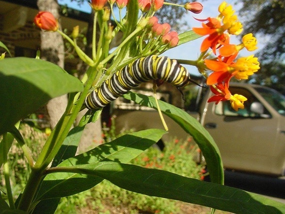 Butterfly Milkweed Seeds