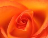 Photo Print of close up of a rose, orange rose, Emily's Rose