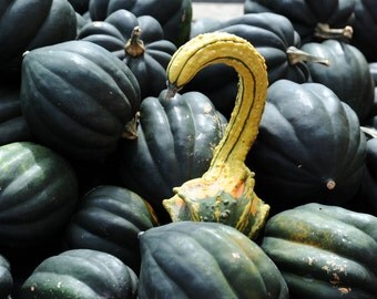Grace - Photo print of gourd with acorn squash