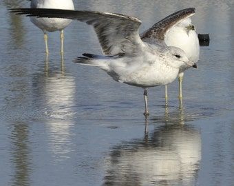 Photo Print - Seagull stretching his leg in a puddle - Seagull Stretch