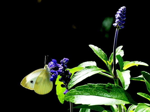 Photo Print of  yellow moth on green leaf of a blue flower -Moth and Blue