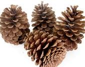 4 Large Pinecones listing 12