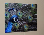 Stunning Portrait of a Peacock  - 8 x 10 on aluminum