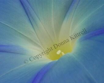 Brilliant Blue Morning Glory 8x10 Photograph