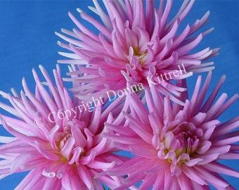 Trio of Pink Dahlias 8x10 Photograph