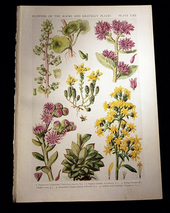 Vintage botanical illustrations by John Nugent Fitch, 1919, 5 plates, would look beautiful framed.