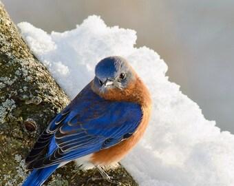 Winter Bluebird, 8x10 Fine Art Photograph (G2372), Wildlife Photography, Animal Photography, bluebird photograph