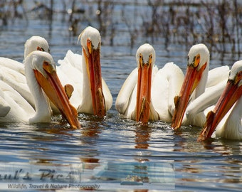 Pelicans, Group Fishing, 8x12 Fine Art Photograph (G5616)