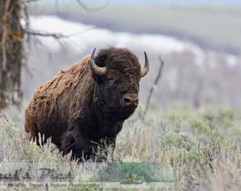 Bison Stare, 8x12 Fine Art Photograph (G5275)