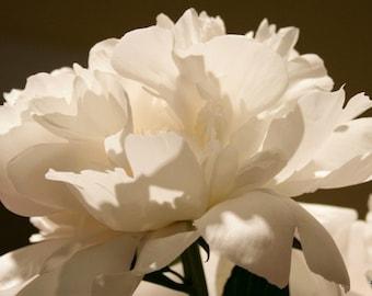 White Peony - Fine Art Photograph 8x10