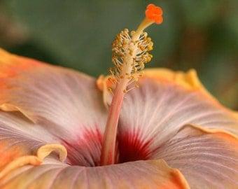 Macro Hibiscus Flower- Fine Art Photograph