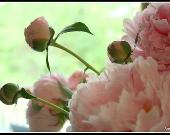 Romance Me Pink Peonies Fine Art Photograph