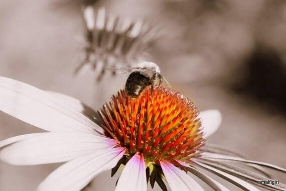 BeeLicious-  Fine Art Photograph