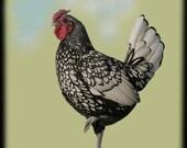 Plucky Little Rooster 8x8 Fine Art Photograph
