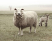 Photography Nature Photography Animal Sheep French Country 16x20