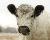 Cow Art Photo French Country Decor Fine Art Photography White Cow in December 8x10