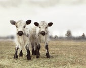 Cow Art White Twin Calves French Country DecorFine Art Photography - lucysnowephotography