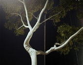 Eucalyptus Tree, Hollywood, CA. 2005, 8.5x11 Fine Art Print