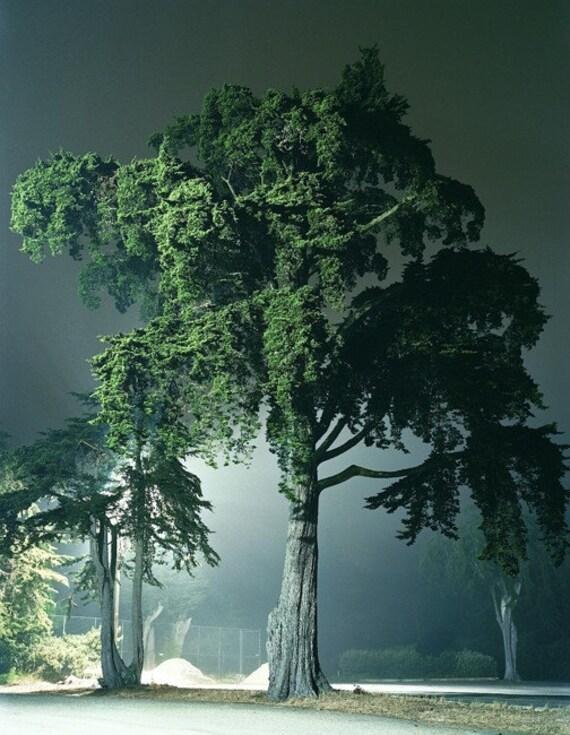 Monterey Pine, San Francisco, 2008, 8.5x11 Fine Art Print