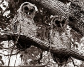 ON SALE - 2OPTIONS Spooky Pair of Juvenile Barred Owls - 8x10 High Quality Photo Print - Sepia or Color