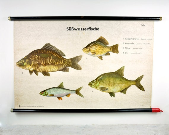 Vintage german biology wall chart freshwater fish by for Illinois fish species
