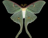 Luna Moth print - Actias luna (male)