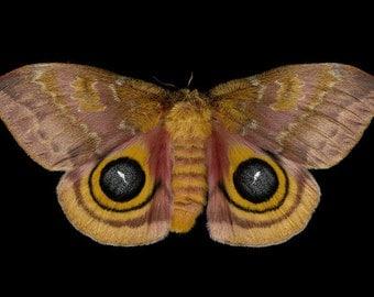 Io Moth print - Automeris io (female)