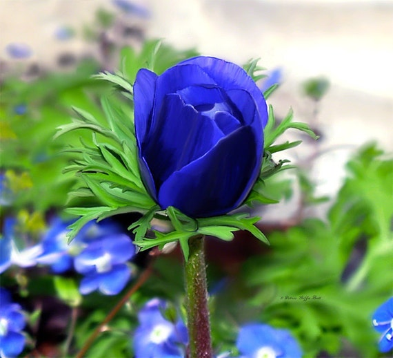 Budding Delight- fine art print- fine art photography- anemone photography- flower photography- botanical photography- wall art- home decor