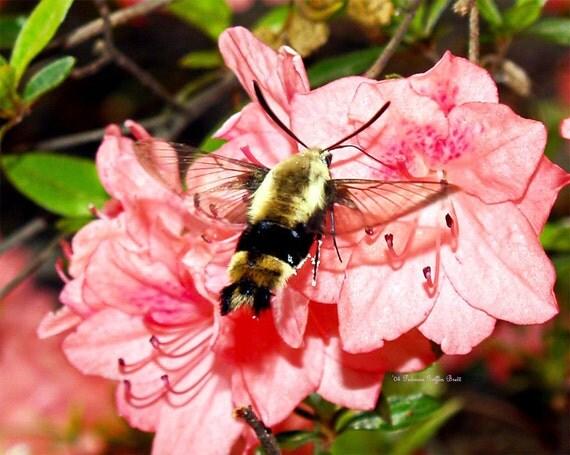 Snowberry Clearwing IV- fine art print- fine art photography- insect photography- nature photography- wall art- home decor- nursery decor