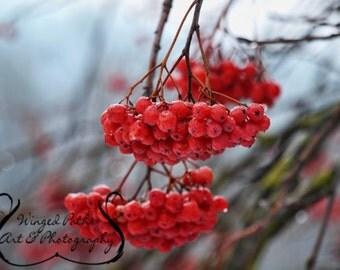 Winter Berries - 5x7 Fine Art Photo Print