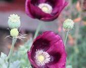 Gorgeous Purple Poppy Seeds