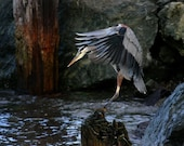 Bird Photography: Great Blue Heron Landing by the Water, Bellingham Bay, Washington, Northwest, Nature