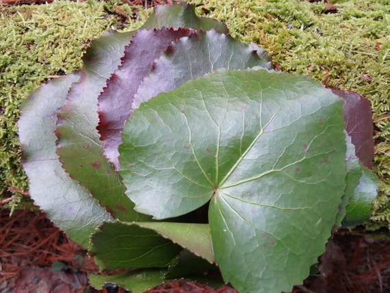 Galax - Woodland evergreen ground cover - Beautiful stems of Round waxy leaves stay green in H2O for Months