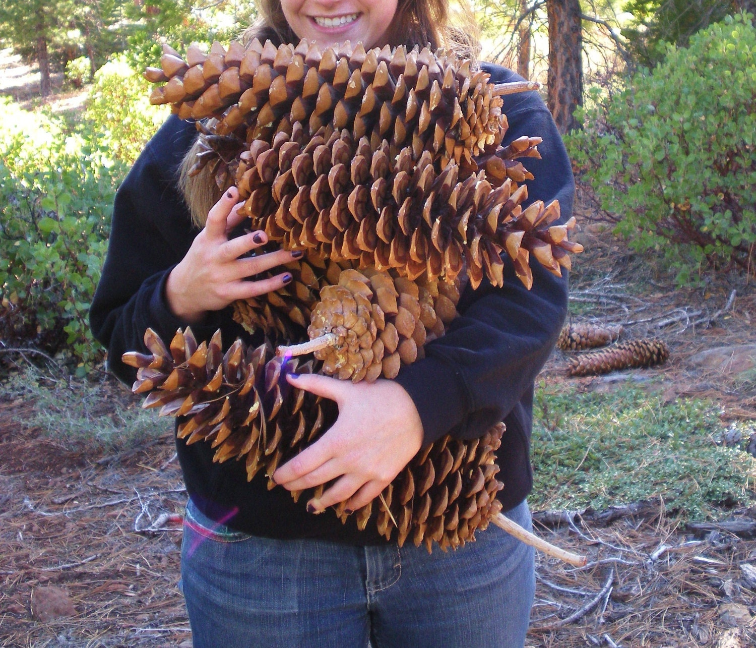 Giant pinecones for Large christmas pine cones