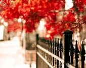 Scarlet Autumn - bright red leaves and black ironwork fence in the big city - an urban photograph - a  fine art nature print (12x12)