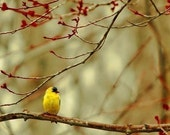 Goldfinch among the maple buds - tiny woodland bird on a bare maple branch against a harvest gold background - A woodland photograph - fine art nature print (5x5)