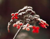 Flower Photography, Red, Black, Dark Dramatic Wall Art, Hydrangea, Winter Art, Frost